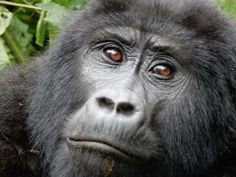 Berg Gorilla, Bwindi, Oeganda
