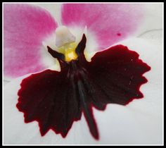 This orchid looks like it's been bitten by a bat.