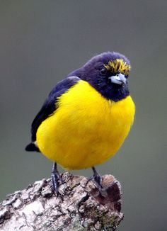 The Purple-throated Euphonia (Euphonia chlorotica) is a songbird species in the family Fringillidae. It is found in South America. Kinds Of Birds, All Birds, Little Birds, Love Birds, Pretty Birds, Beautiful Birds, Animals Beautiful, Cute Animals, Wild Animals