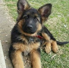 German Shepherd Pup ~ Classic Look #germanshepherd