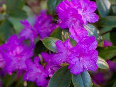 P.J. Mezzit, Rhododendron, Finland  - propluto.kuvat.fi by Heikki Rantala