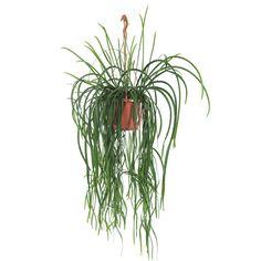 42,50 Green Lifestyle Store Kamerplant Lepismium 'Bolivianum'