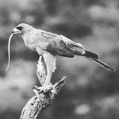 "The Goshawk having ""snaky pasta"" for lunch.  #birding #wildlifephotography #wildlife #naturelovers #wildlifephotography #safaris #travel #nature_lovers #photosafari #photography #holiday #nikonphotography #magicalkenya #instalove #kenyasafari #wildlife #birdsphotos #birdphotography#samburubirds"