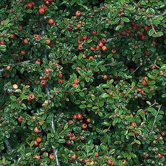 3 x cotoneaster #'coral #beauty' evergreen shrub hardy garden #plant in pot,  View more on the LINK: http://www.zeppy.io/product/gb/2/251466065466/
