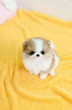 Teacup white / tan Pomeranian puppy love