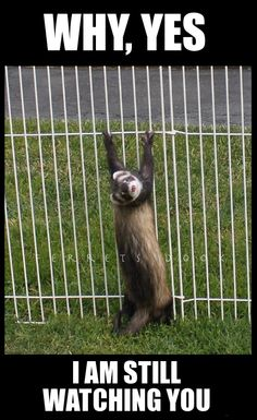 Ferrets Care, Baby Ferrets, Funny Ferrets, Pet Ferret, Animals And Pets, Baby Animals, Funny Animals, Funny Animal Pictures, Cute Animals