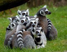 Ring-tailed Lemurs - Pixdaus