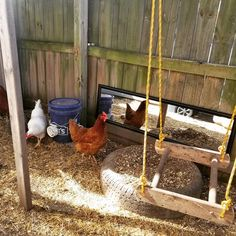 Building A DIY Chicken Coop If you've never had a flock of chickens and are considering it, then you might actually enjoy the process. It can be a lot of fun to raise chickens but good planning ahead of building your chicken coop w Chicken Swing, Chicken Roost, Chicken Pen, Chicken Garden, Backyard Chicken Coops, Chicken Coop Plans, Diy Chicken Coop, Chickens Backyard, Inside Chicken Coop