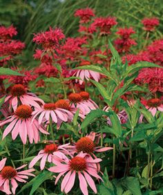 Though red bee balm (Monarda cv., Zones and pink coneflower (Echinacea purpurea cv., Zones make an electrifying combination, not all versions of red work well together Dream Garden, Garden Art, Garden Design, Flowers Perennials, Planting Flowers, Beautiful Gardens, Beautiful Flowers, Red Plants, Fine Gardening