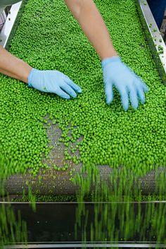 Pea production Growing Peas, Canning Process, Food Manufacturing, Trucks, Cat, Green, Ideas, Products, Cat Breeds