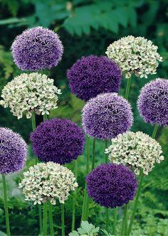 NetAnttila - Ukko Gallop Goliath 15kpl / pack. | Flower bulbs and seeds