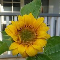Syksyinen auringonkukka