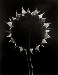 Sunflower Face, Winthrop, Massachusetts 1965 gelatin silver print
