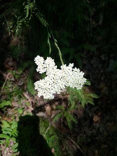 Achilaea millefolium- Coada șoricelului Dandelion, Flora, Plants, Dandelions, Plant, Planting