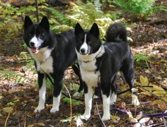 Simply Canine : by Gail Rasanen // Karelian Bear Dog Orange Cats, White Cats, Dog List, Purebred Dogs, Snow Dogs, Dogs And Puppies, Bear Dogs, Mans Best Friend, Dog Owners