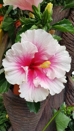 Hibiscus Rosa-Sinensis White-pink - Normadziah Hamzah ♦๏~✿✿✿~☼๏♥๏花✨✿写 ☆ ☀❁~⊱✿ღ~❥ ༺♡༻ 🌺 SA Nov 2018 🌺 ༺♡༻ 💥⊰~ ♥⛩☮️ Hibiscus Flower Drawing, Hibiscus Flowers, Exotic Flowers, Tropical Flowers, Purple Flowers, Flower Art, Beautiful Flowers, Flower Ideas, Flower Crown