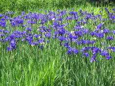 Siberian Iris - variety unknown but grown in a large clump they make a superb garden show
