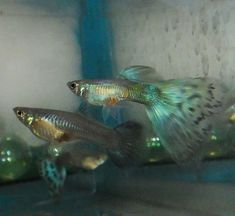 bicolor blue green guppy The Blue Green BiColor guppy comes in many types. Blue…