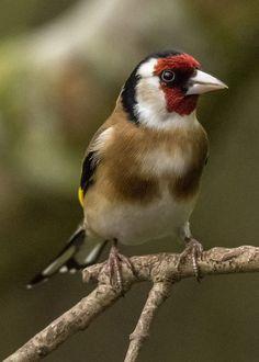 ゴシキヒワ (五色鶸) Goldfinch, European goldfinch (Carduelis carduelis)