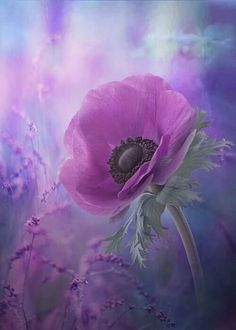Glasbild Anemone Blossom in Purple East Urban Home Größe: 30 cm H x 30 cm B Purple Poppies, Purple Flowers, Purple Lilac, Artist Canvas, Canvas Art, Canvas Prints, Exotic Flowers, Beautiful Flowers, Sempervivum