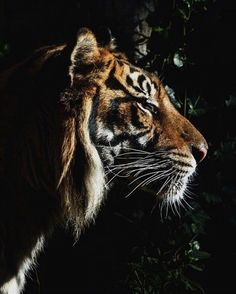 Harimau Kayu Oh What A Beautiful Morning. Beautiful Morning, Beautiful Cats, Animals Beautiful, Cute Animals, Animals Images, Wild Animals, Big Cats, Cats And Kittens, Cute Cats