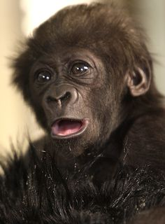 Her face is seriously ridiculous. | Dream Job Alert: Surrogate Gorilla Mother