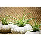 9GreenBox - Air Plant Tillandsia Bromeliads 3 Gift Set with Sea Urchin Holiday