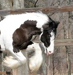 Lion's Luck | Westmoreland Gypsy Vanner Horses For Sale Story- Pilanel stud stallion
