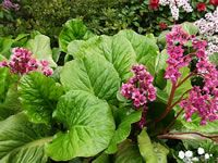 Heartleaf Bergenia, bloom spring, green leafs from summer to late winter, great in shade (I have alot of trees in my yard-old big trees)