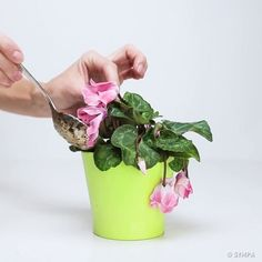 Bring Your Wilted Flowers Back To Life With Only Three Ingredients - The Plant Guide Cyclamen Care, Container Gardening, Gardening Tips, Wilted Flowers, Plant Guide, Horticulture, Backyard Landscaping, Houseplants, Urban Gardening