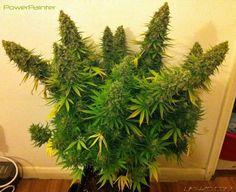 Resultado de imagen para outdoor cannabis