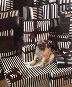 If this adorable pug puppy in a sea of brown & white stripes doesn't make your life complete, we don't know what will.