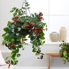 Buy lipstick plant Aeschynanthus Mona Lisa - Bright scarlet flowers: hanging pot: Delivery by Crocus Flowering House Plants, Common Garden Plants, Tropical House Plants, House Plants Decor, Tropical Flowers, Mona Lisa, Goldfish Plant, Cat Safe Plants, Lipstick Plant