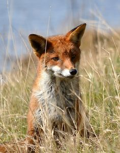 Fox (by charlie.syme)