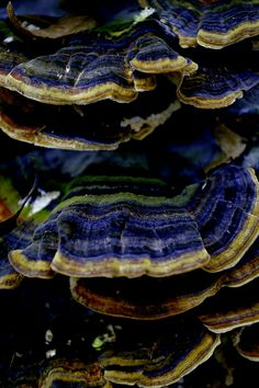 Turkey Tail (Trametes versicolor) ~ By Thomas Zelger
