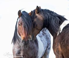"""Wild Horse Photography Wild Roan Pinto Stallions Print - """"Two Wild Pinto Brothers"""" Horse Adoption, Most Beautiful Horses, Beautiful Things, Horse Corral, Rock Springs, Horse Wall Art, Wild Mustangs, Cute Horses, Equine Photography"""