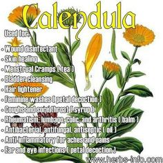 A very strong decoction of calendula tea may even be useful in preventing sepsis and infection, while at the same time encouraging the repair and recovery of damaged or diseased skin. Description from naturalblessings.info. I searched for this on bing.com/images