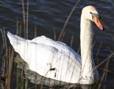 O Biólogo Amador: Cisne-branco (Cygnus olor)