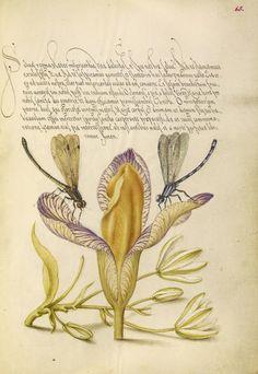Joris Hoefnagel, illuminator [Flemish / Hungarian, 1542 - 1600] and Georg Bocskay, scribe [Hungarian, died 1575] , Damselflies, Spanish Iris, and Star-of-Bethlehem.