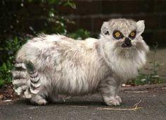 lemurat - lemur crossed with cat