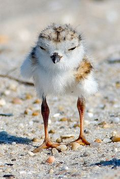 Piper Plover Chick by Brian E Kushner