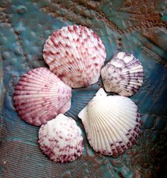 Pink and Purple Scallop Shells | New England's Narrow Road
