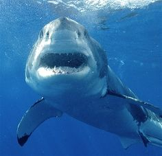 The largest great white shark measured 20 feet in length and weighed 5,000 pounds. Great whites are known for their 300 razor-sharp teeth and great sense of smell. Although they prefer to eat sea lions, seals and sea turtles, they sometimes bite and kill people after mistaking them for food.