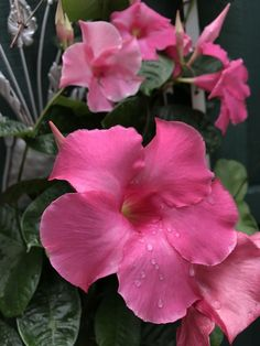 Grow Gorgeous Dipladenia and Mandevillas in Containers