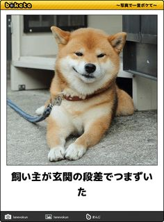 Things that make you go AWW! Like puppies, bunnies, babies, and so on. A place for really cute pictures and videos! Cute Funny Animals, Cute Baby Animals, Funny Dogs, Cute Puppies, Cute Dogs, Shiba Inu Puppies, Overweight Dog, Japanese Dogs, Dog Owners