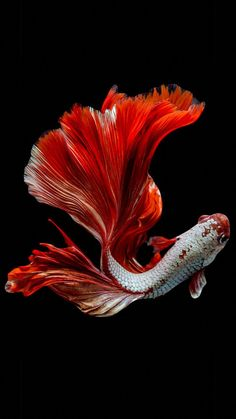 Red fish Red fish wallpaper for your iPhone 8 from EverpixYou can find Colorful fish and more on our website.Red fish Red fish wallpaper for your iPhone 8 from Everpix Pretty Fish, Beautiful Fish, Beautiful Tropical Fish, Beautiful Pictures, Beautiful Sea Creatures, Animals Beautiful, Betta Fish Types, Fish Wallpaper, Wallpaper Pictures