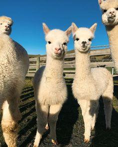 Here's two crias for your Friday . Baby Alpaca, Cute Alpaca, Llama Alpaca, Animals And Pets, Baby Animals, Funny Animals, Cute Animals, Llama Face, Gato Gif
