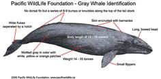 """California Gray Whale #""""Critically endangered western North Pacific (Asian) population."""" :'( http://www.fish-journal.com/2011/10/gray-whale.html"""