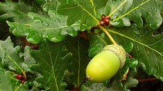 Extractul din muguri de stejar - un revitalizant eficace Vegetables, Food, Essen, Vegetable Recipes, Meals, Yemek, Veggies, Eten