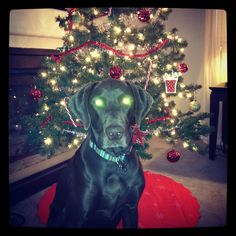 It's the most wonderful time of the year! How do your pups feel about all of the Holiday decorations? Cooper is already sick of posing for photos with the Christmas tree!